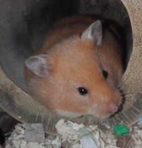 Hamster vrij p